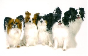 Charity Papillon Rescue Uk